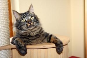 Ratgeber für Kratzbäume, Maine Coon Katze
